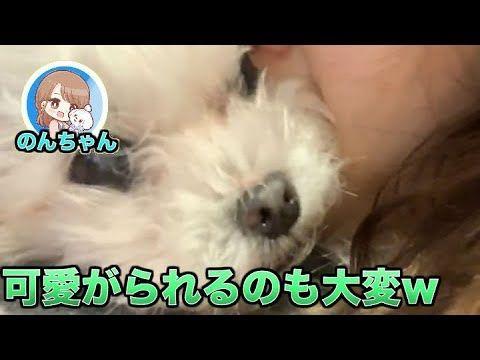 【犬猫動画】犬 かわいい のんちゃん´•ﻌ•`🐾 可愛がられて大変なんだって。  - 長さ: 1:39。