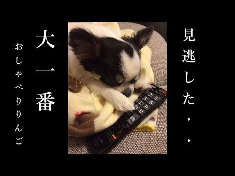 【犬猫動画】チワワのりんご~ブサ可愛いおしゃべり犬~ 日本人横綱誕生か!?19年振りの瞬間を見届けるぞ!  - 長さ: 0:54。