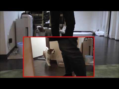 【犬猫動画】犬がかわいい!癒されたい!おもしろい!かわいい顔の子犬、キャバリア「ゆめこ」  - 長さ: 1:55。