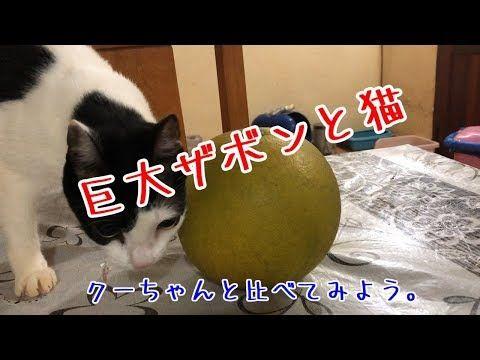 【犬猫動画】巨大ザボンと巨大アボカドと猫。  - 長さ: 4:26。