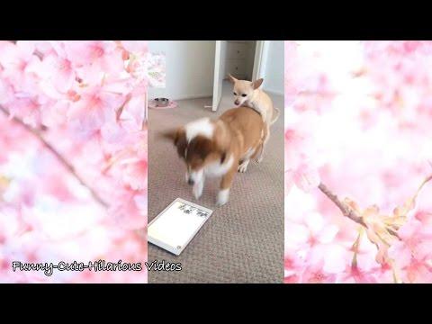【犬猫動画】「絶対笑う」 おもしろ犬、可愛いワンちゃん動画まとめ  - 長さ: 10:16。