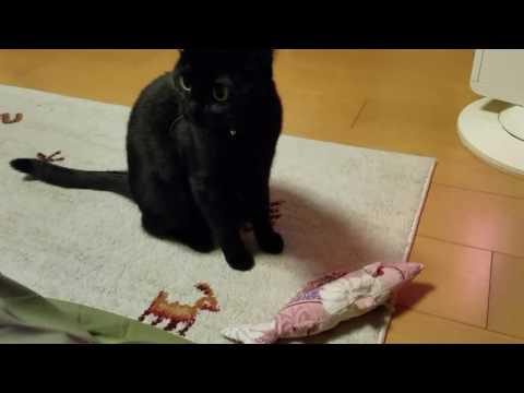 【犬猫動画】《猫おもしろかわいい》女の子なのに激しいなぁ  - 長さ: 0:42。