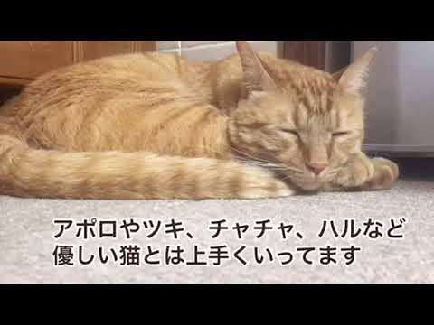 【犬猫動画】保護猫のチャッピー オス 茶トラ 約2歳半 紹介動画 mk監督 2019年5月30日  - 長さ: 4:37。