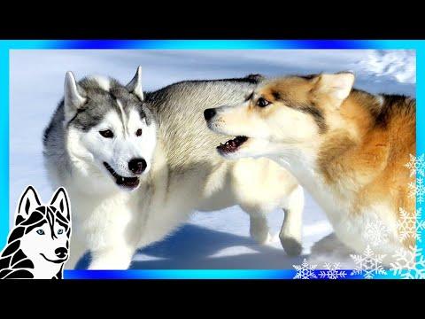 【犬猫動画】他の犬に襲われた犬? | #AskGTTSD 288 | シベリアンハスキー  - 長さ: 11:12。