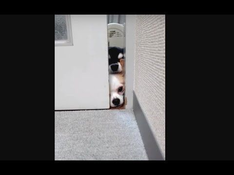 【犬猫動画】のぞき見チワワ  - 長さ: 0:37。