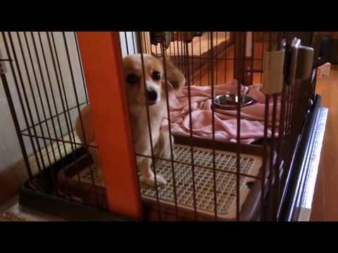 【犬猫動画】お気に入りはやはりトイレの上 おもしろかわいい My dog days47 〜犬との日々〜 dog  - 長さ: 1:06。