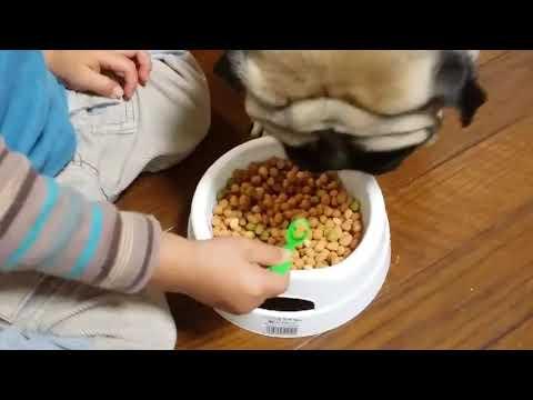 【犬猫動画】おもしろ犬パグ犬ムゥ♪スプーンでは食べませんよ。  - 長さ: 3:15。