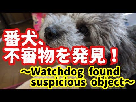 【犬猫動画】自称番犬なトイプードル犬、不審物発見 Watchdog found suspicious object  - 長さ: 1:01。