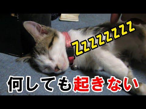 【犬猫動画】なかなか起きない猫を無理やり起こすとキレた  - 長さ: 3:46。