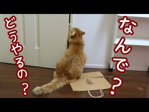 【犬猫動画】おもしろ子猫🐱ドアを開けるのが恐ろしく下手な兄猫の巻Brother cat who can not open the door【Cute dog & cat】  - 長さ: 2:01。