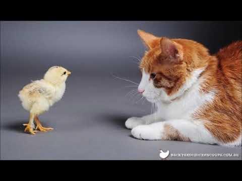 【犬猫動画】[絶対笑う] 最高におもしろ犬,猫,動物のハプニング!動物のかわいい画像集  - 長さ: 1:39。