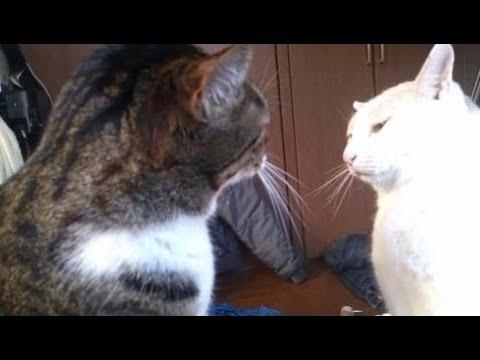 【犬猫動画】[ 猫おもしろ ] シバター家の猫たち  - 長さ: 2:51。
