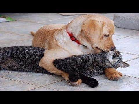 【犬猫動画】2019「絶対笑う」最高におもしろ犬,猫,動物のハプニング, 失敗画像集 #42  - 長さ: 11:30。
