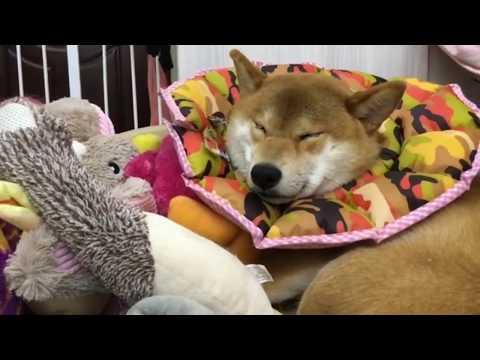 【犬猫動画】「おもしろ犬 」思わず笑っちゃう柴犬の動画 HD - 2017 9話 Funny Shiba Inu #9  - 長さ: 10:31。
