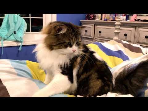 【犬猫動画】Cat's Funny Momentおもしろい猫ーーLaimi Plays in Bed ベッドであそびねこ  - 長さ: 1:40。
