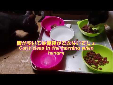 【犬猫動画】174🌞腹が減っては朝寝が出来ぬ猫さん😪A cat that cannot sleep in the morning when hungry  - 長さ: 3:19。
