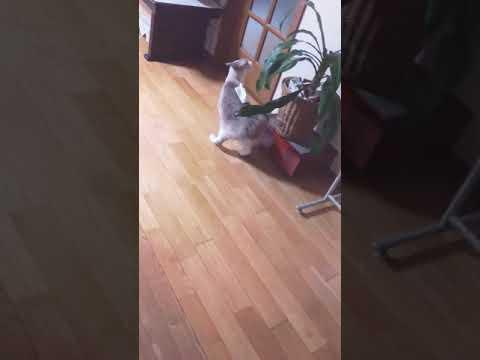 【犬猫動画】愛猫 おもしろ動画  - 長さ: 0:41。