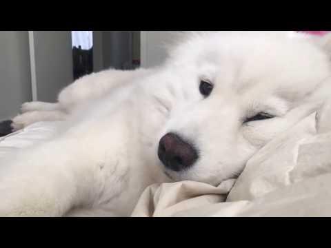 【犬猫動画】甘えん坊のサモエド犬と一緒に1日遊ぶ!白いもふもふ犬が超かわいい!samoyed puppy  - 長さ: 2:52。
