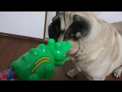【犬猫動画】おもしろ犬パグ犬ムゥ♪ワッ!!ワニじゃ。参った。  - 長さ: 2:20。