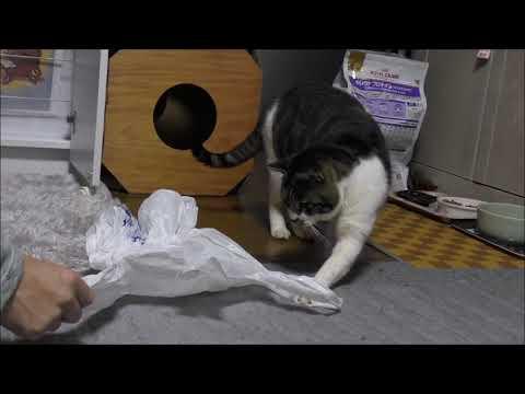 【犬猫動画】ビニール袋に過剰反応する猫がおもしろかわいい♥パパとビニール袋争奪戦!後ろ足ふみふみCat videos キジトラ猫との暮らし  - 長さ: 4:16。