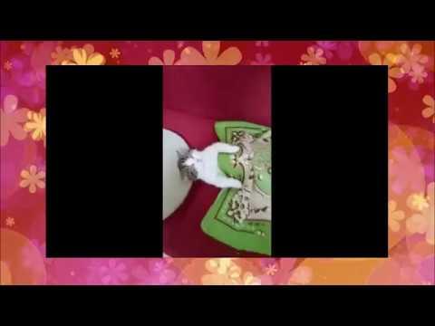 【犬猫動画】動物おもしろ動画 ちょっと見てみて!  - 長さ: 1:36。