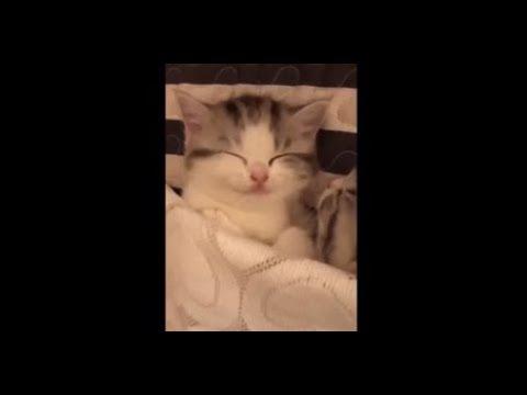 【犬猫動画】気持ちよさそうに寝てる猫♥チューを嫌がるチワワ♥超おもしろ可愛い犬猫ちゃん♥癒し♥まとめ♥  - 長さ: 8:13。