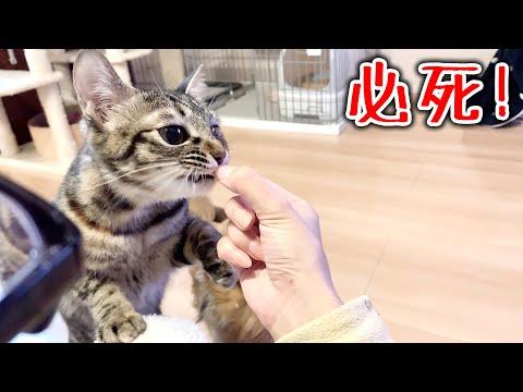 【犬猫動画】肉を独り占めしたい猫の行動が面白すぎた supernabura  - 長さ: 4:30。
