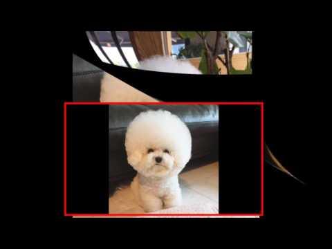 【犬猫動画】アイコン?綿あめ?犬のトリちゃんが可愛すぎる♡  - 長さ: 1:28。