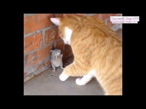 【犬猫動画】「おもしろ猫とネズミ」死んだふりにして猫を騙したネズミが超賢い・リアルのトムとジェリー  - 長さ: 10:21。