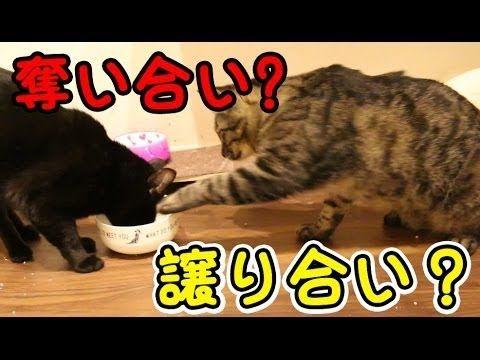 【犬猫動画】猫のおもしろ動画!エサを取り合いする猫 - a cat scramble the food  - 長さ: 1:41。