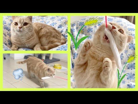 【犬猫動画】猫が大はしゃぎする猫じゃらしを見つけました!最後は誰にも渡さないと必死に逃げる子猫!【Cats I don't want to pass to anyone!Exotic short】  - 長さ: 3:16。