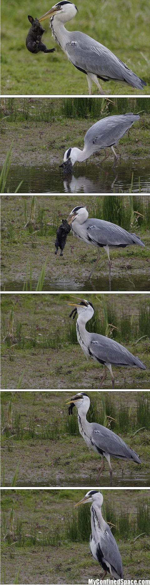 Heron Eats A Rabbit