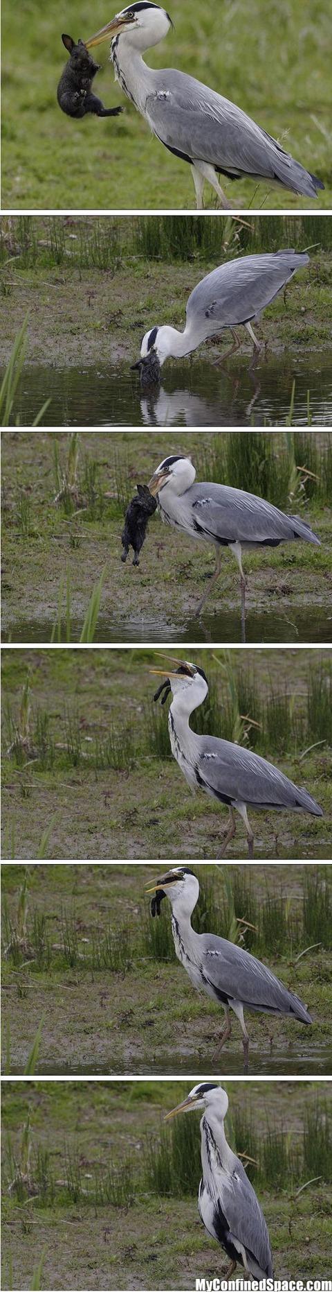 Heron Eats A Rabbit