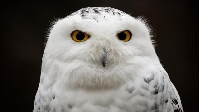 snowy-owl-closeup.adapt.945.1