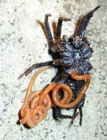 mermithid_worm_spider_2