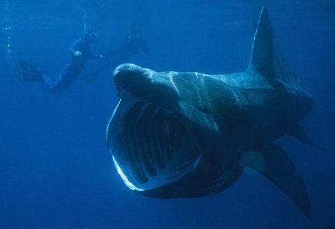basking-shark02