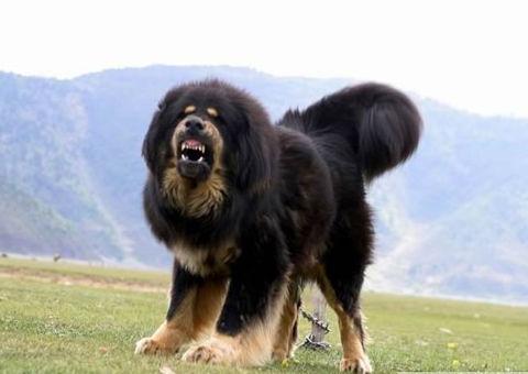 tibetanmastiff_watchdog