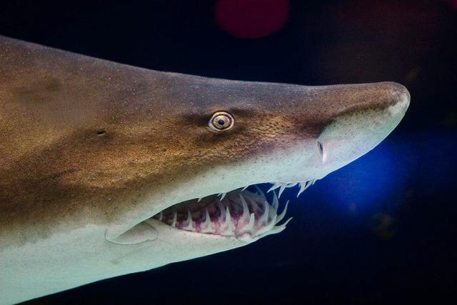 Grey_nurse_shark_2