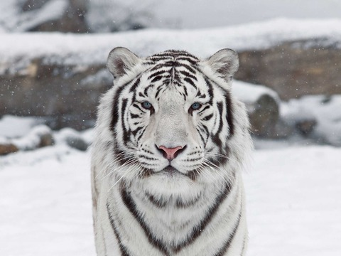 Nice-White-Tiger