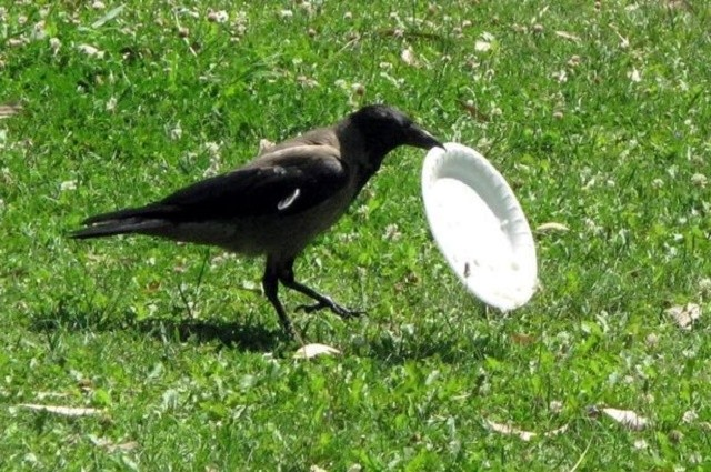 0_Intelligent-crows-to-pick-up-litter-at-French-theme-park