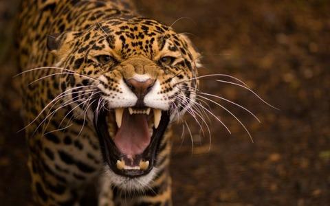 jaguar-animal-wide-screen-wallpaper-560x350