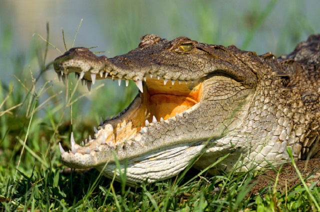 girl-crocodile-attack