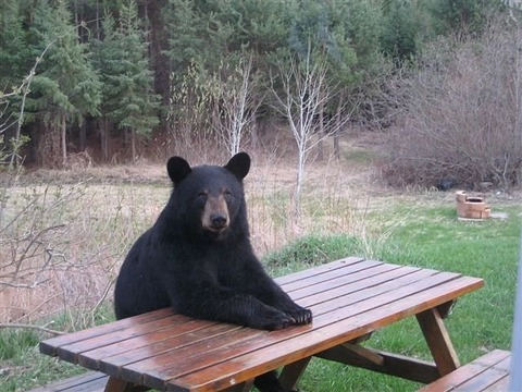 bear-vote