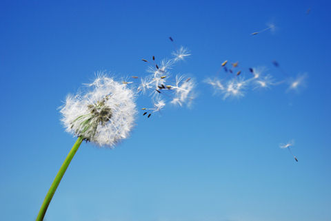 DANDELION-CLOCK-SMALL