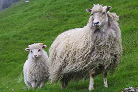 sheep_fuglafjord
