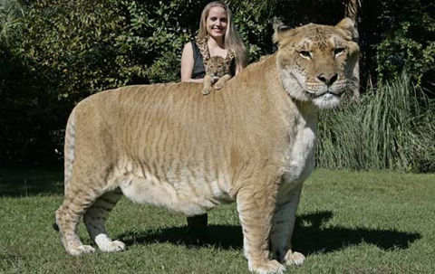 1185-aries-liger-cub-hercules-picture