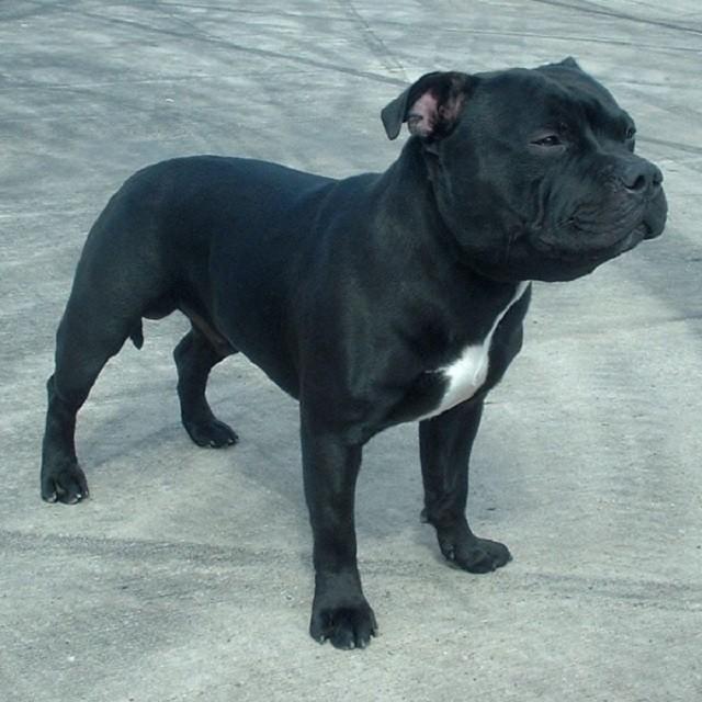 Staffordshire_Bull_Terrier_600