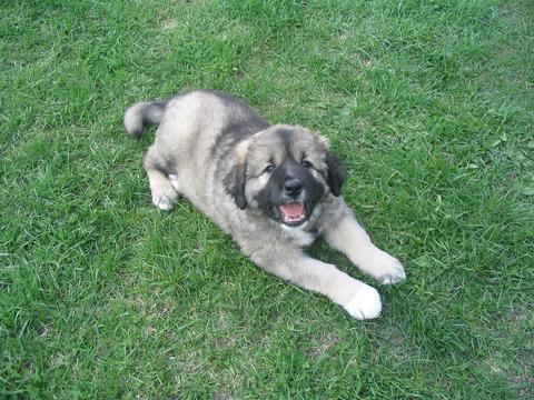Caucasian_Shepherd_Dog_puppy