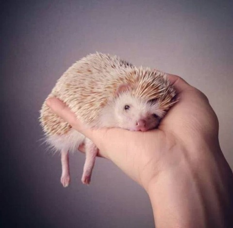 ddfda930e08faa3271829f5a6c8eaf69--anime-animals-cute-hedgehog