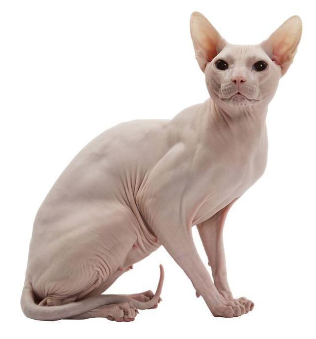 5b26ce513b11ad96ef0db55d5c2f0a62--sphynx-cat-cats